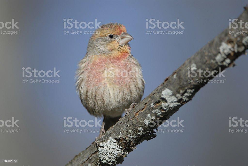 Immature male Purple Finch stock photo