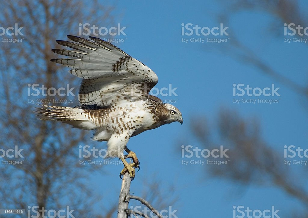 Immature Red-Tailed Hawk - Manitoba royalty-free stock photo