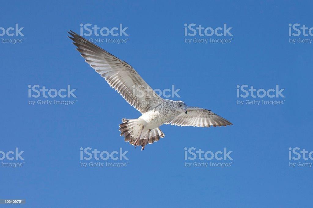 Immature Ring-billed Gull stock photo