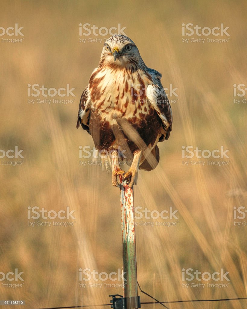 Immature Rough-legged Hawk Sitting on a Steel Fence Post with Blurred Autumn Grass Background stock photo
