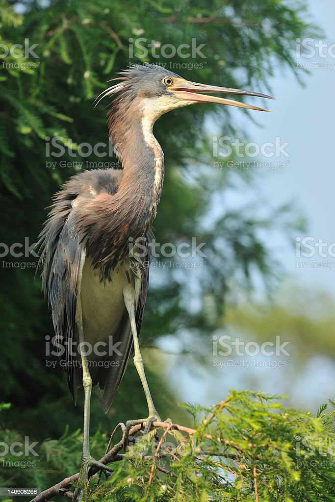 Immature Tricolored Heron royalty-free stock photo