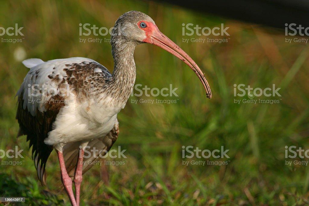 Immature white ibis royalty-free stock photo