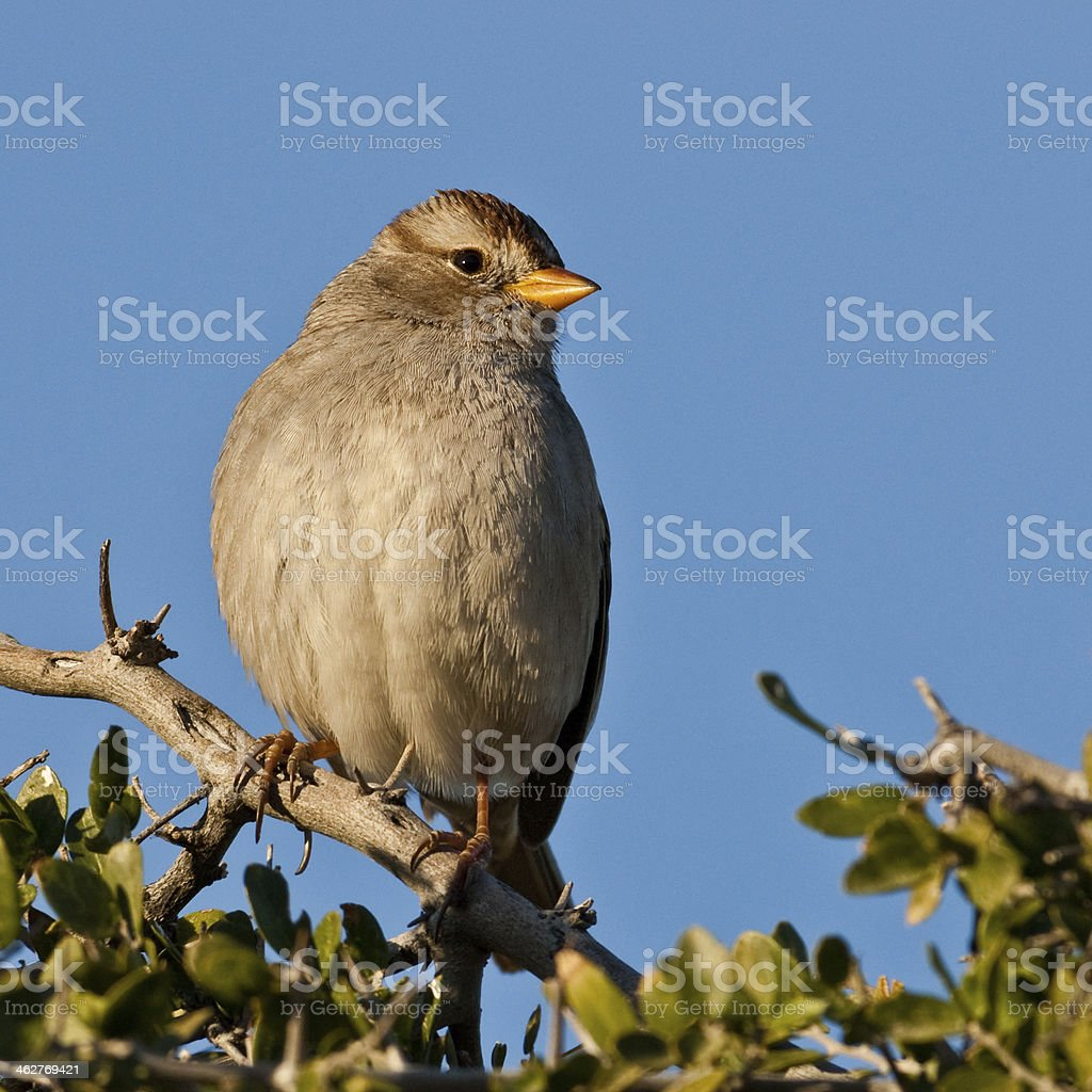 Immature White-Crowned Sparrow royalty-free stock photo