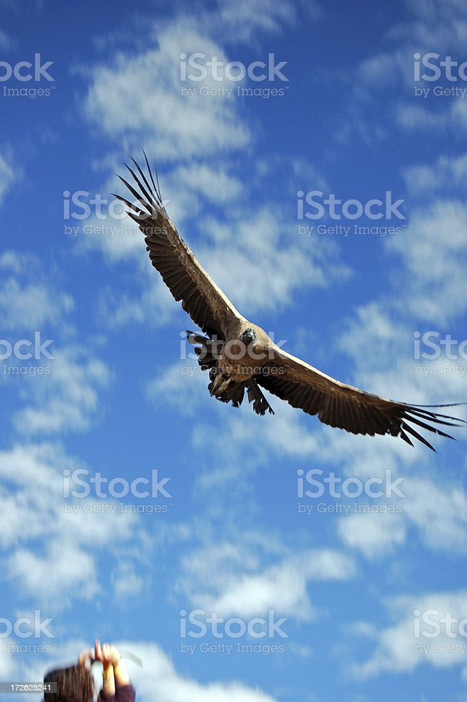 Immense Condor stock photo