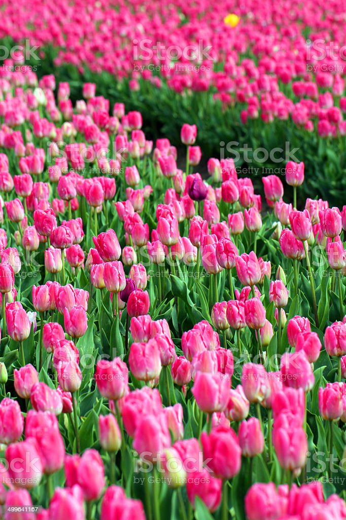 Immersively Pink royalty-free stock photo