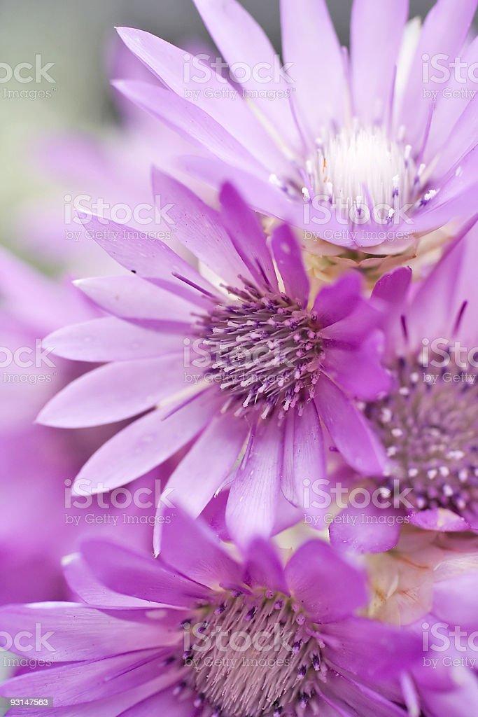 Immortelle.  Everlasting flower. Helychrysum bracteatum. royalty-free stock photo