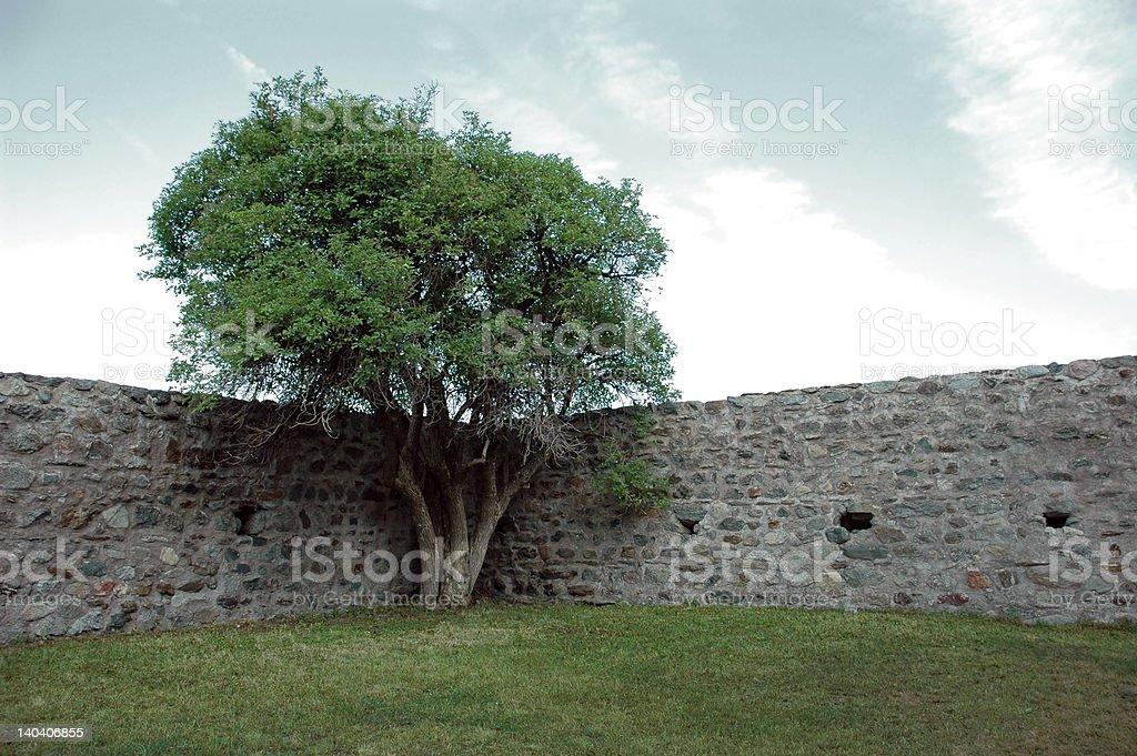 Immured Tree royalty-free stock photo