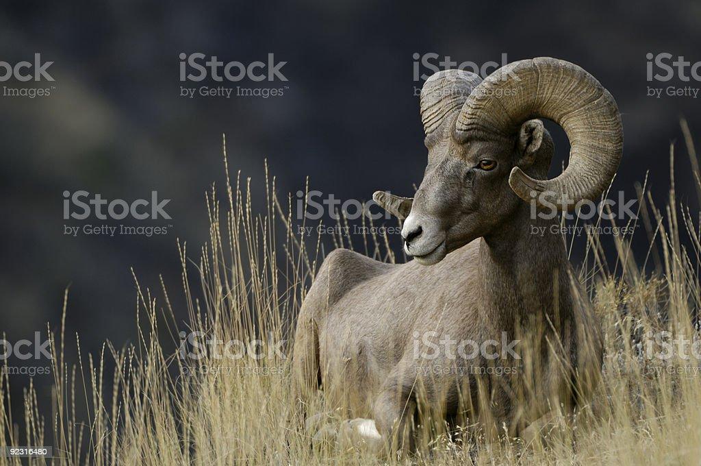Imnaha Bighorn Ram stock photo