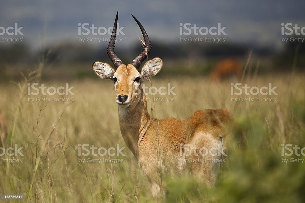 Impala isolado na Savana foto de stock royalty-free