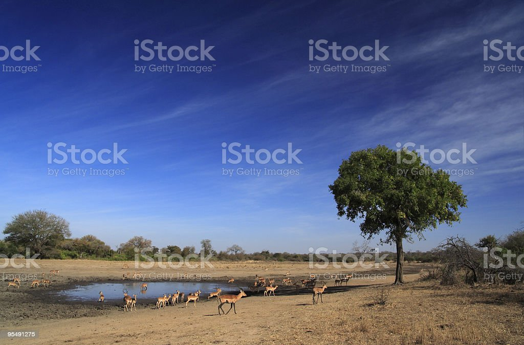 Impala antelope at  a pan with polarised blue cloudy sky stock photo