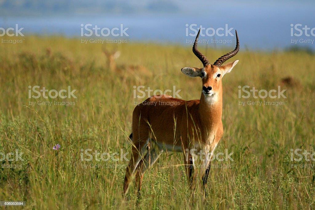 Impala Antelope at Murchison Falls National Park Safari stock photo