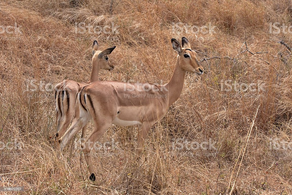 impala antelope stock photo