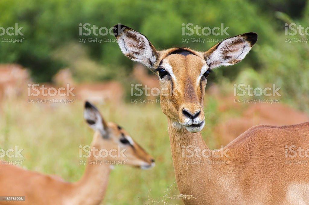 Impala Antelope stock photo