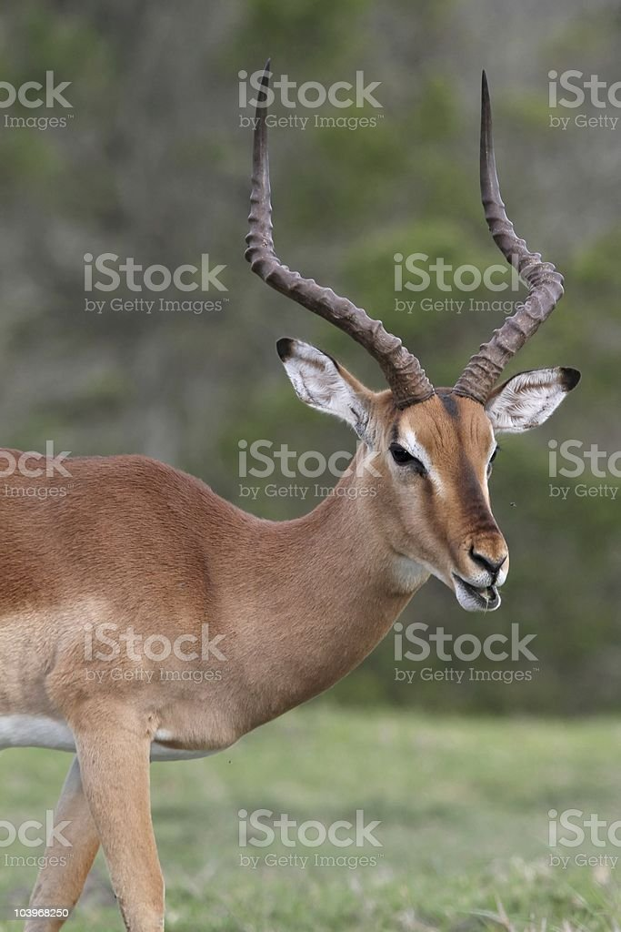 Impala Antelope Talking stock photo