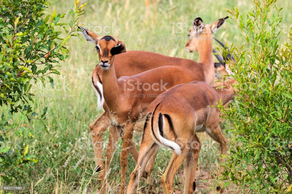 Impala antelopes (Aepyceros melampus) South Africa Kruger National Park stock photo