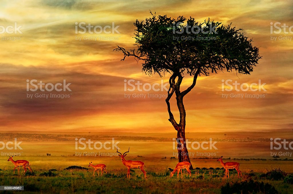 Impala at African Sunset Background stock photo