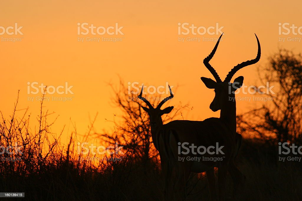Impala at sunset stock photo