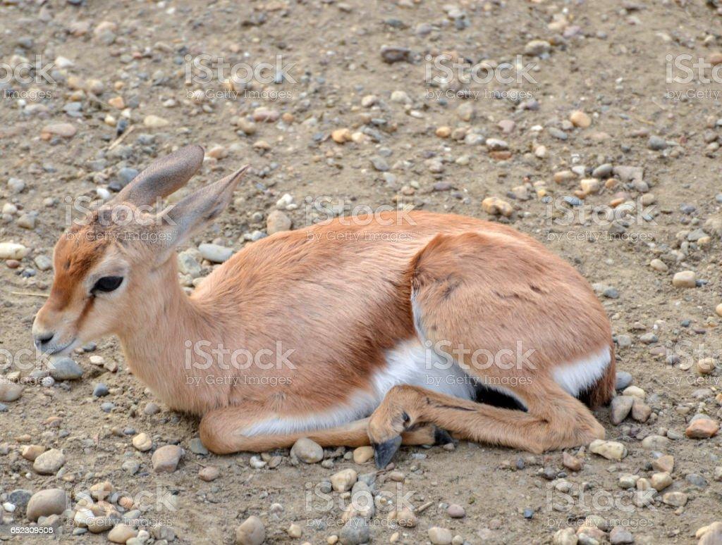 Impala baby stock photo