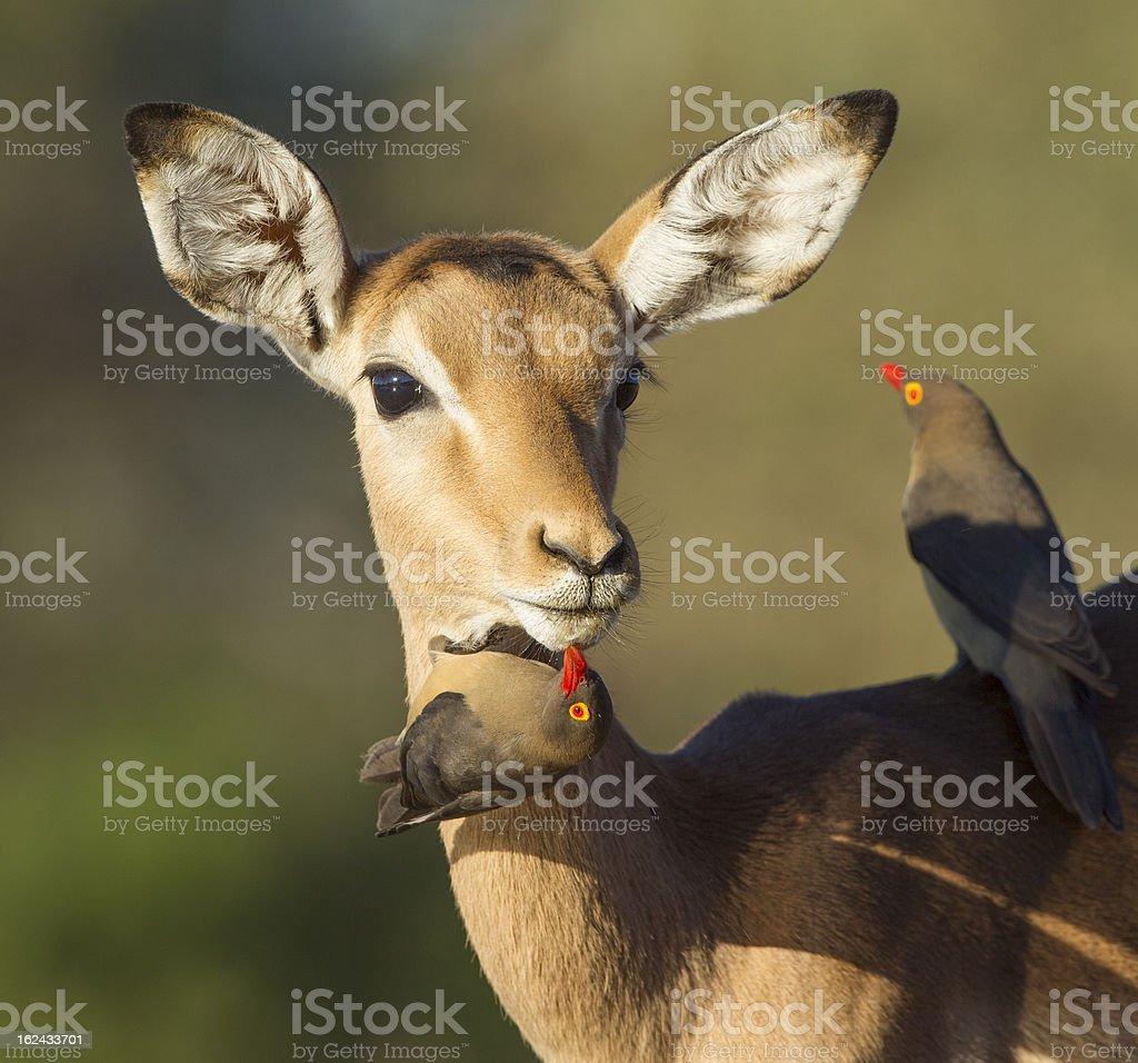 Impala being groomed by ox peckers (aepyceros melampus) Botswana stock photo