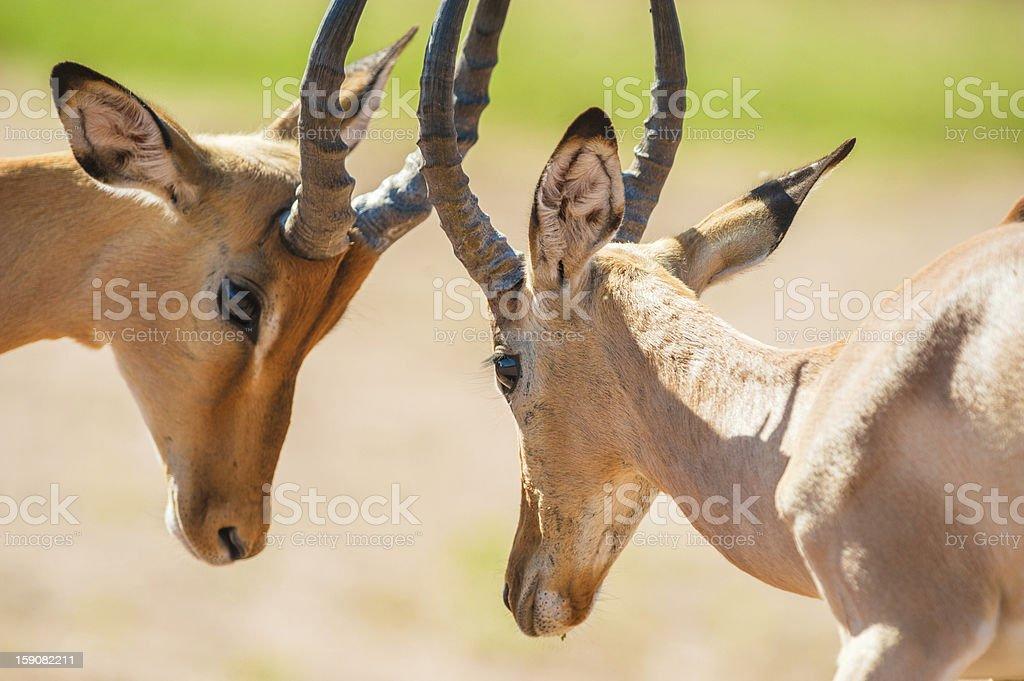 Impala butting heads royalty-free stock photo