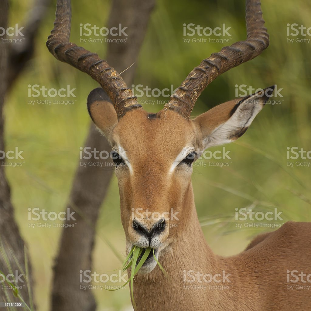 Impala close-up stock photo