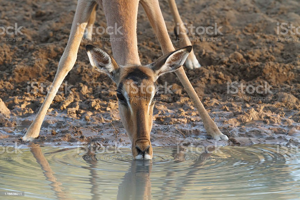 Impala Drinking stock photo
