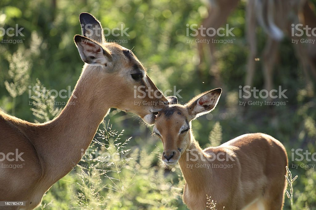 Impala ewe gently grooming her young calf stock photo