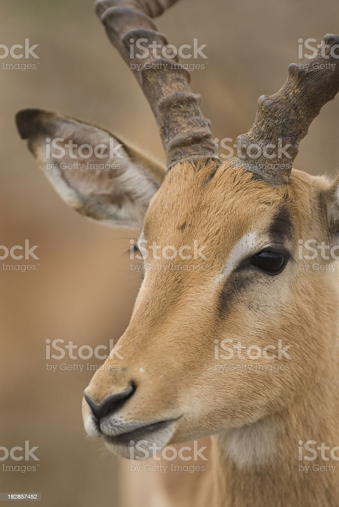 impala face stock photo