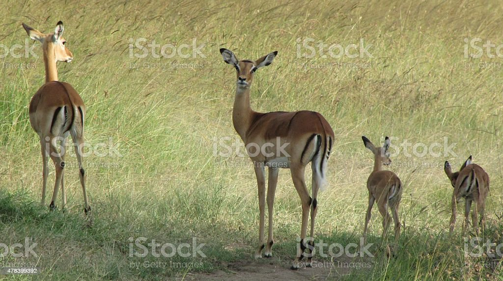 Impala family stock photo
