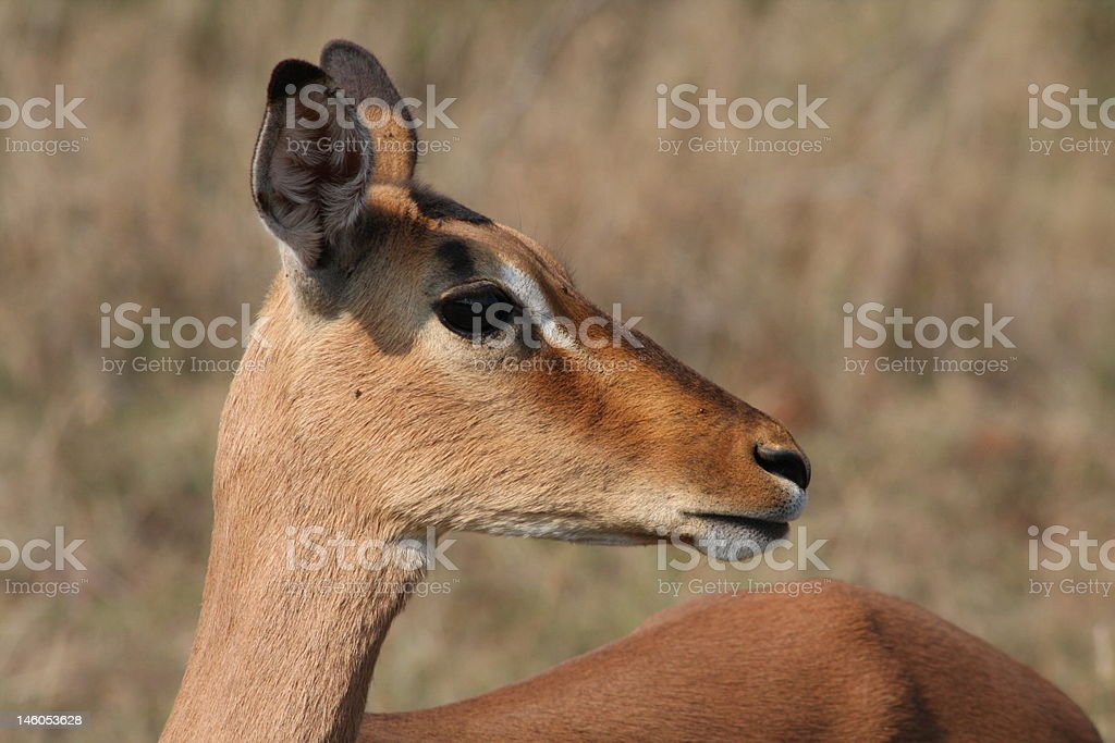 Impala Female stock photo