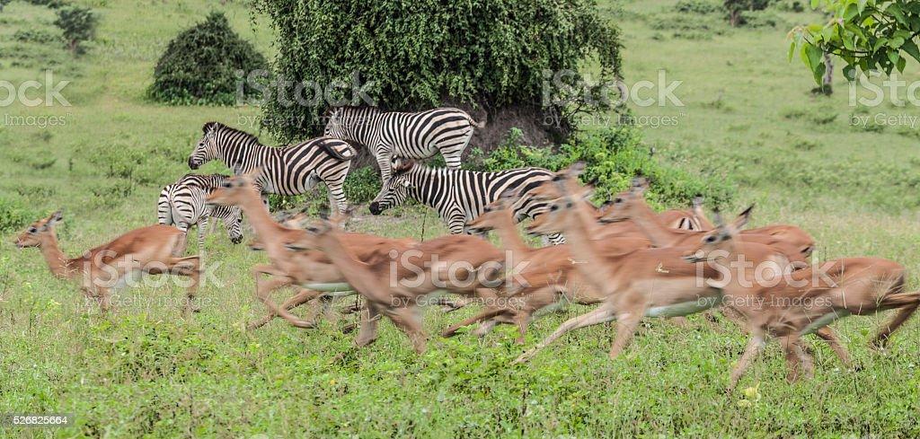 Impala herd stampeding past Zebras; Chobe N.P., Botswana, Africa stock photo
