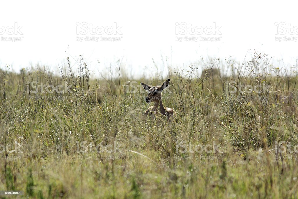 Impala in high grass royalty-free stock photo