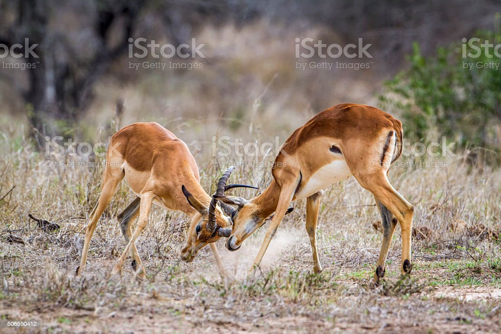 Impala in Kruger National park stock photo