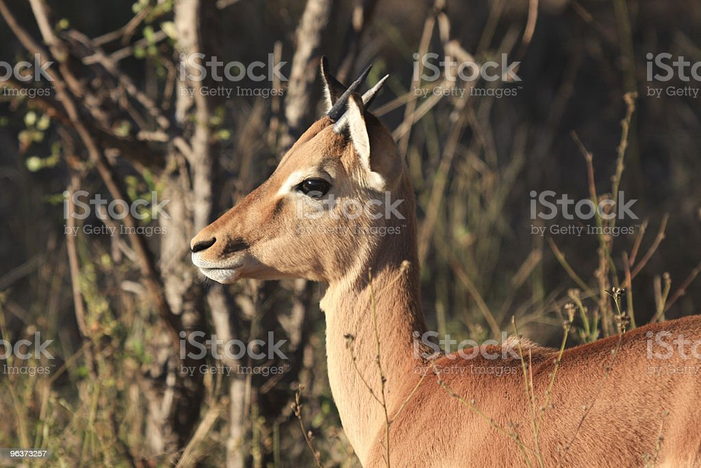 Impala in Kruger Park, South Africa royalty-free stock photo