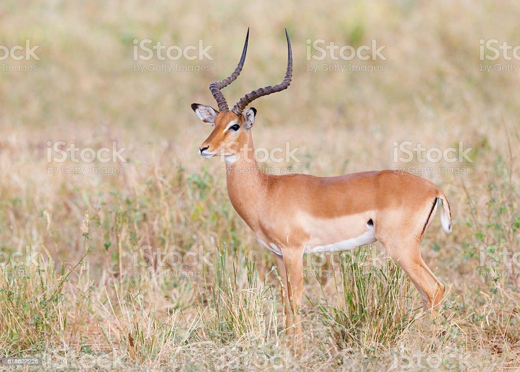 Impala in Tarangire National Park, Tanzania Africa stock photo