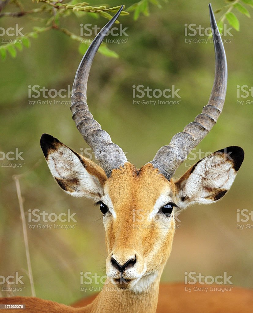 Impala in the African Bush stock photo