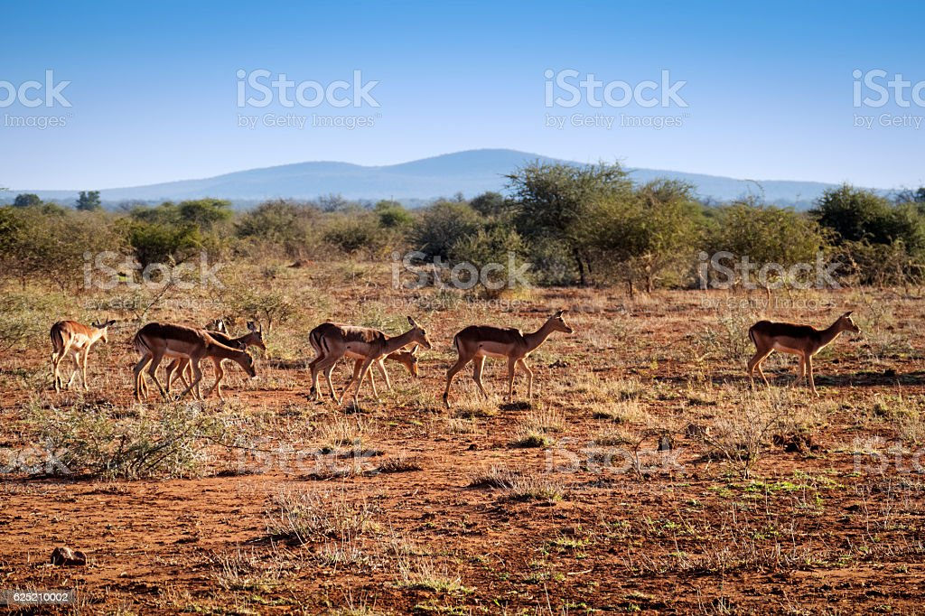 Impala in the Magikwe Game Reserve,South Africa stock photo