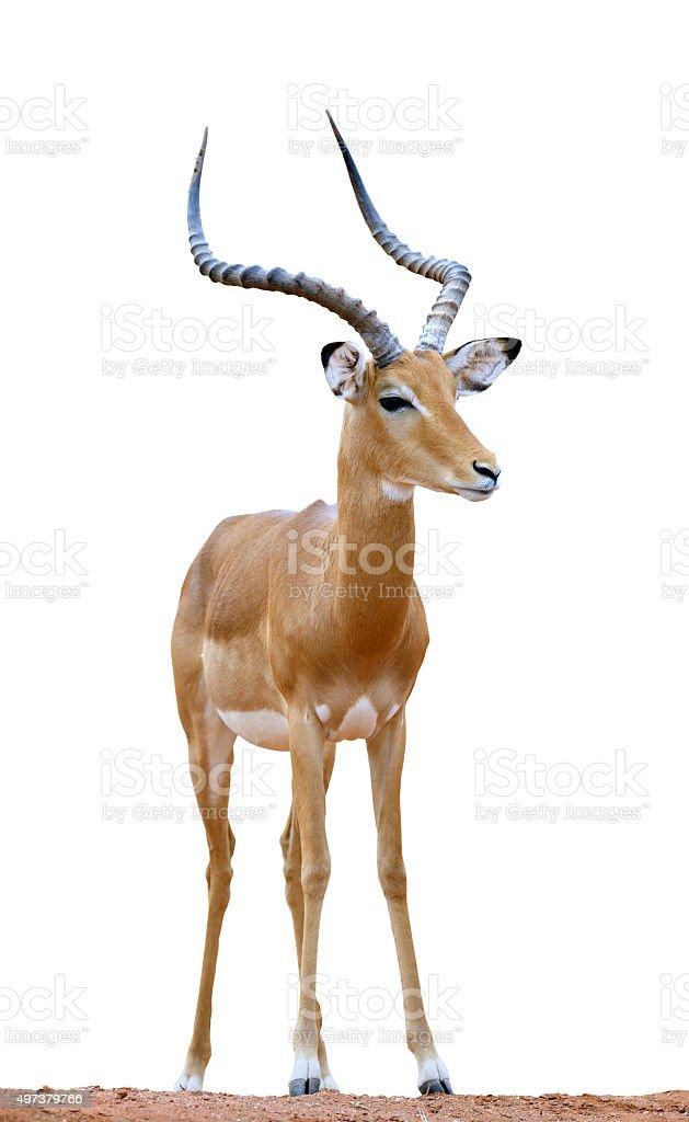 Impala isolaterd on white background stock photo