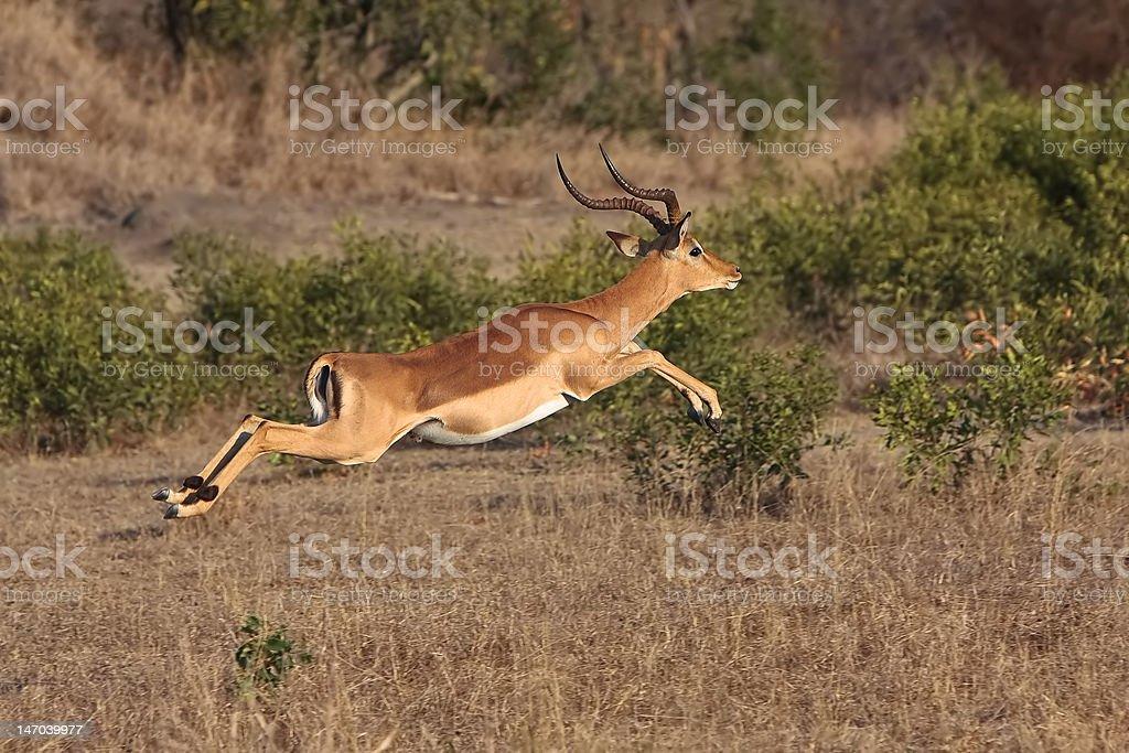 Impala Jump stock photo