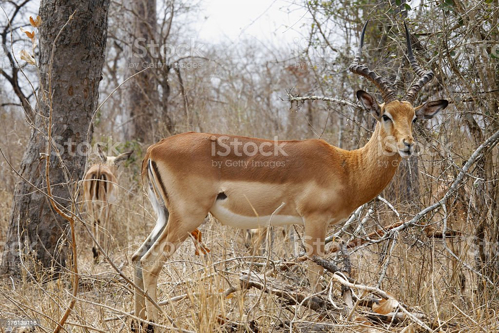 Impala Kruger National Park South Africa stock photo