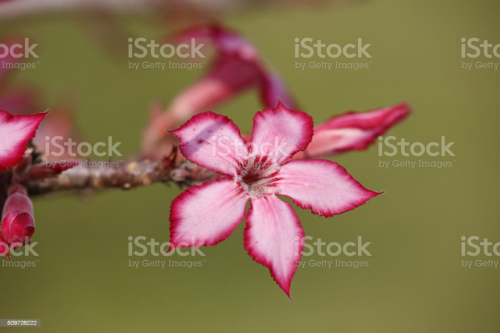 Impala Lilly Blooms stock photo