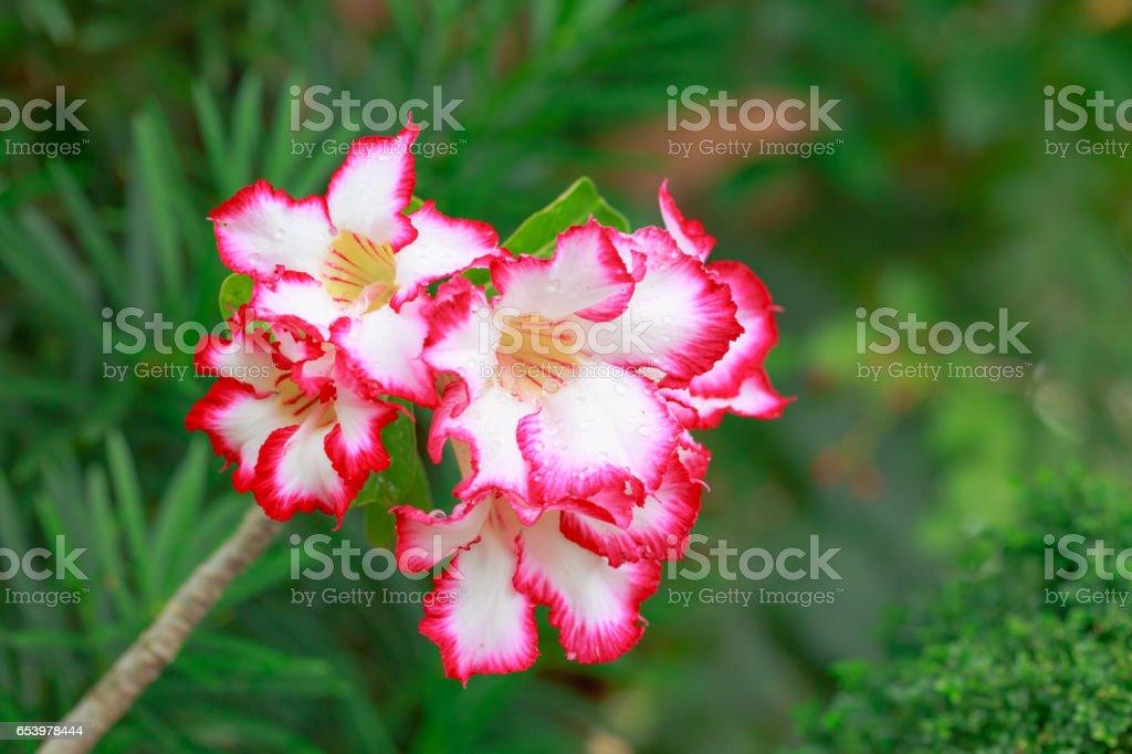 Impala Lily, Desert Rose, Mock Azalea, Pinkbignonia, Adenium flower after rain stock photo