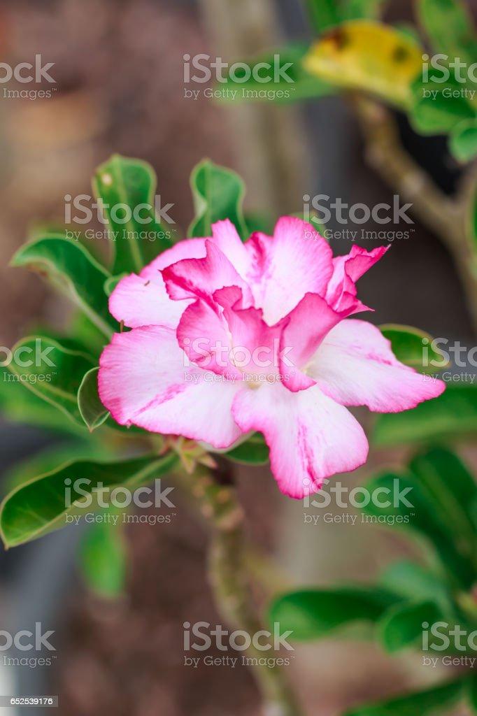 Impala Lily, Desert Rose, Mock Azalea, Pinkbignonia, Adenium flower stock photo