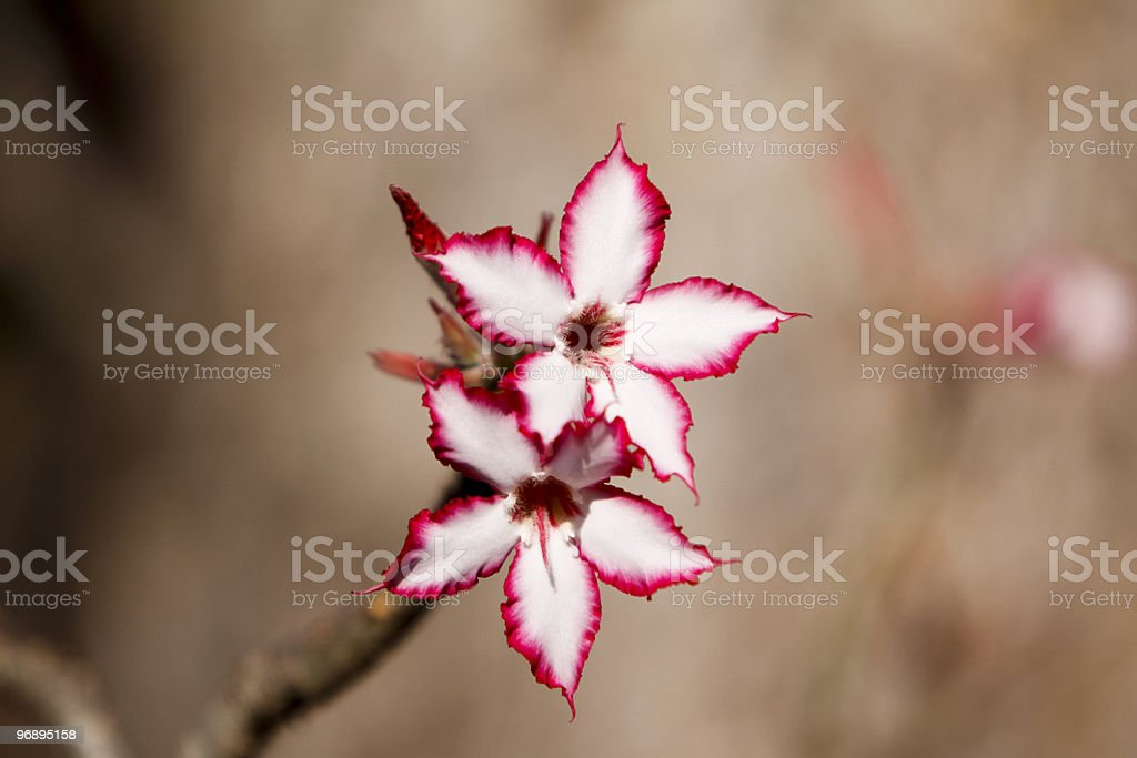 Impala Lily in Kruger Park, South Africa stock photo