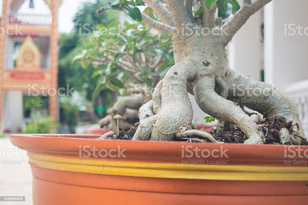 Impala Lily in Potted,closeup trunk stock photo