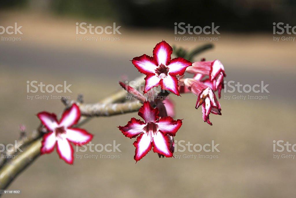 Impala Lily stock photo