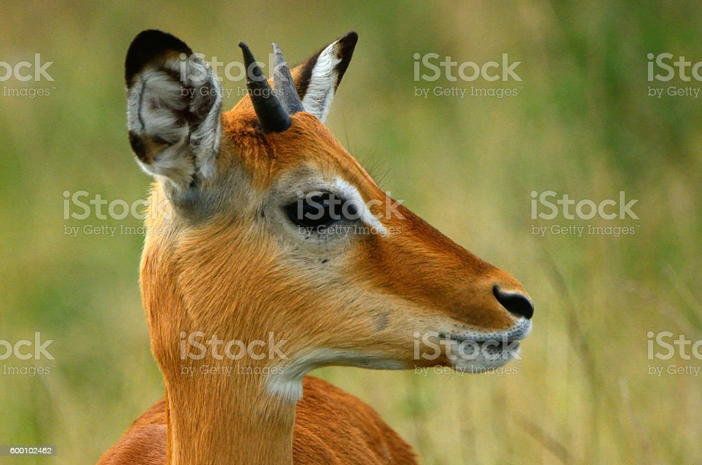 Impala, Maasai Mara Game Reserve, Kenya stock photo