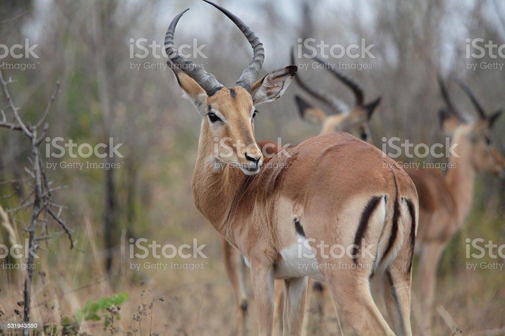 Impala Male Antelope stock photo