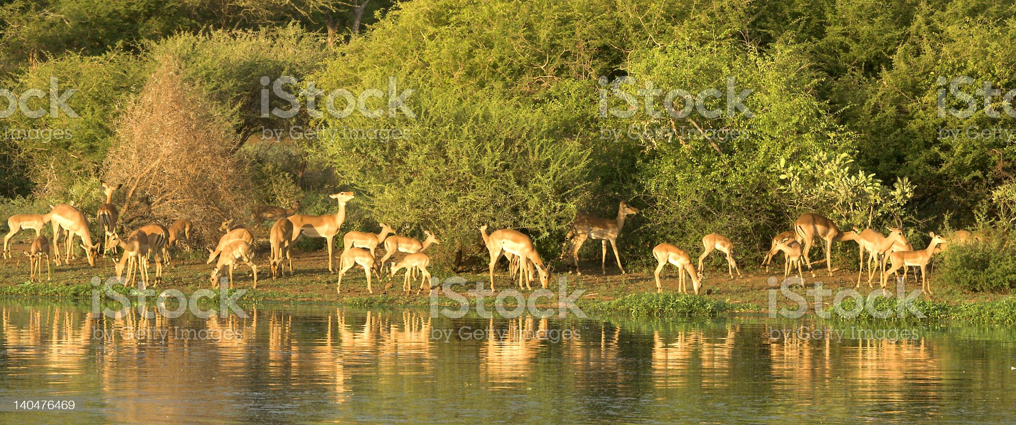 Impala panorama royalty-free stock photo