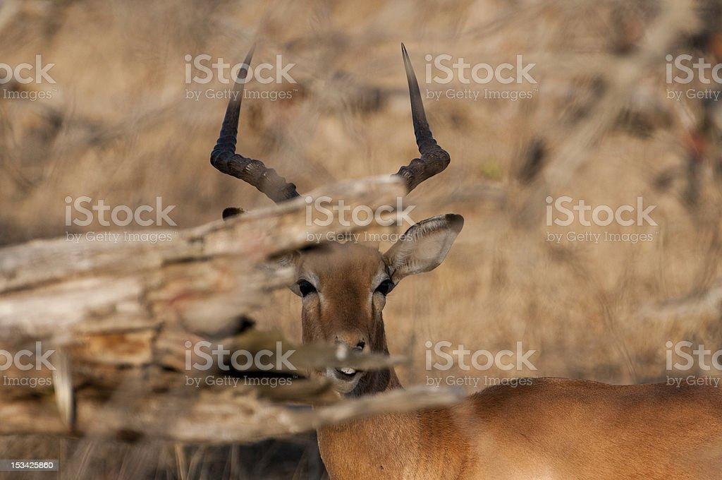 Impala zbiór zdjęć royalty-free